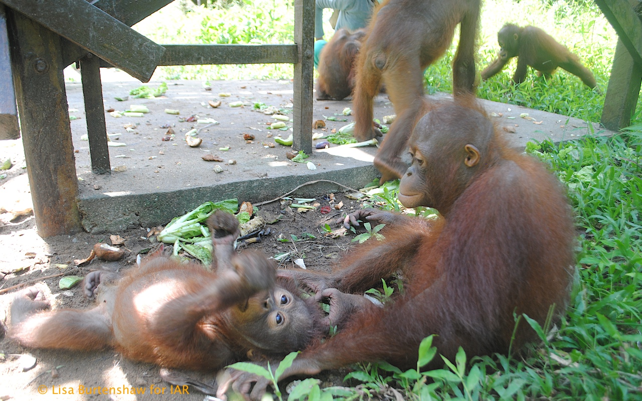 Escaped orangutan puts zoo on temporary lockdown - AOL News